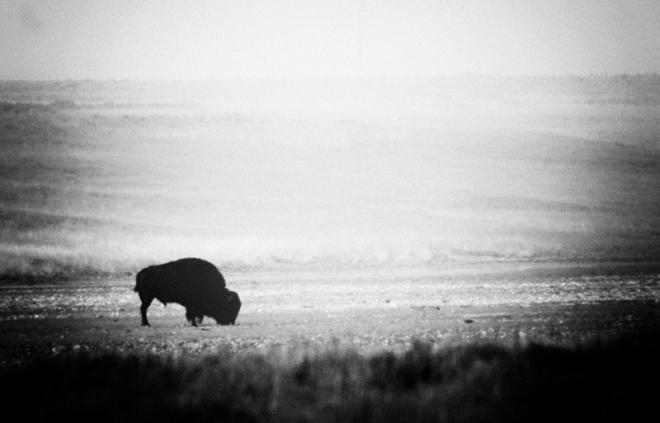 Bisonte di Yellowstone